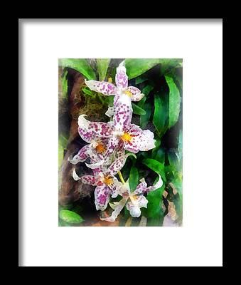 Beallara Framed Prints