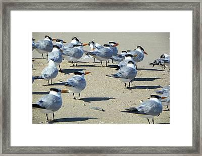 Elegant Terns Enjoying The Beach Framed Print by Suzie Banks