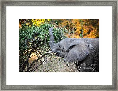 Elephant Detail Framed Print by Gualtiero Boffi