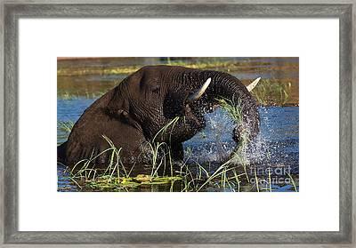 Elephant Eating Grass In Water Framed Print by Mareko Marciniak