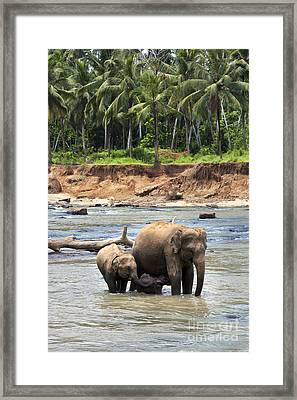 Elephant Family Framed Print by Jane Rix