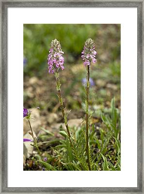 Elephant's Head (pedicularis Attolens) Framed Print by Bob Gibbons