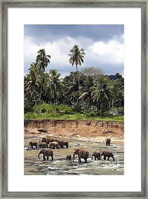 Elephants In The River Framed Print by Jane Rix