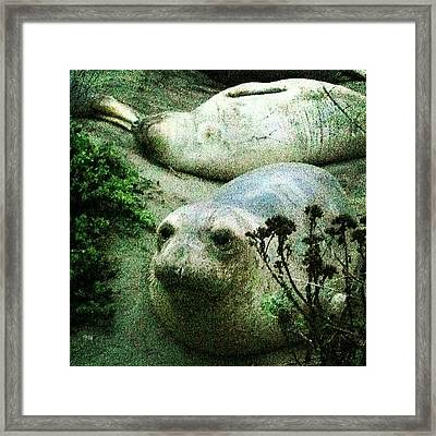 #elephantseal !!! #cali #california Framed Print
