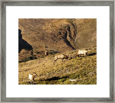 Elk Battle 2012 Framed Print