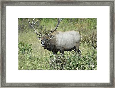 Elk Bugle Framed Print by Barry Shaffer