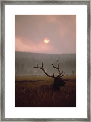 Elk Cervus Elaphus Resting In Tall Framed Print by Michael Quinton