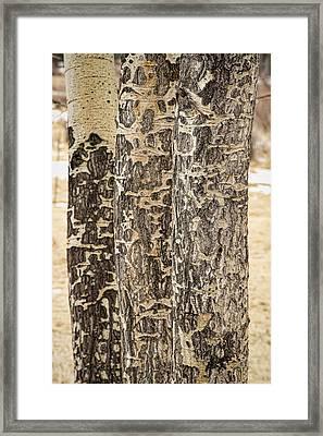 Elk Gnawed Horning Aspen Trees Fine Art Print  Framed Print by James BO  Insogna