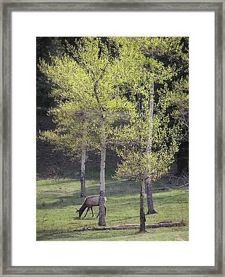Elk Grazing In Early Spring Framed Print