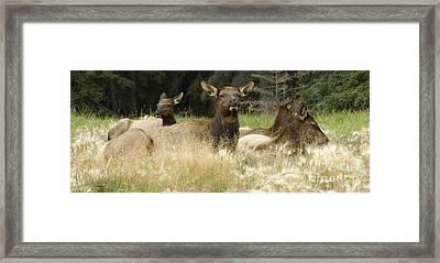 Elk Harem Framed Print by Bob Christopher