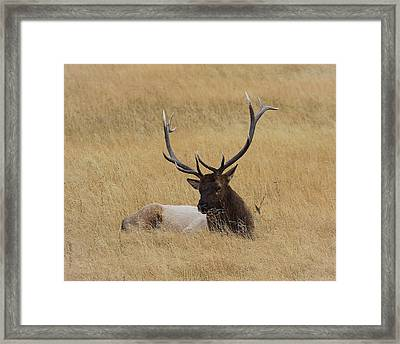 Framed Print featuring the photograph Elk In The Meadow by Steve McKinzie