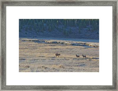 Elk In The Morning Framed Print by Twenty Two North Photography