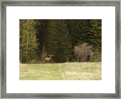Elk Framed Print by Larry Roberson