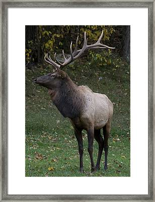 Elk Pride Framed Print