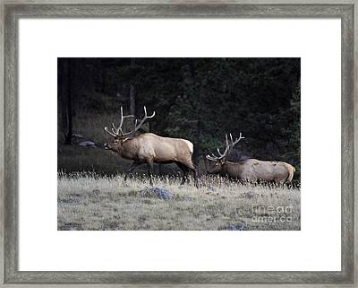 Framed Print featuring the photograph Elk Rut Intimadation by Nava Thompson