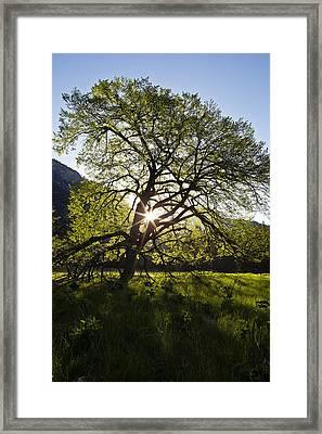 Elm In Cook's Meadow Framed Print by Rick Berk