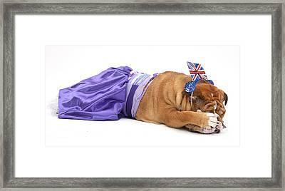Embarrassed Bulldog Framed Print by Mark Taylor