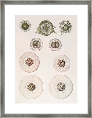 Embryonic Development Framed Print by Mehau Kulyk