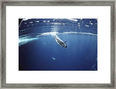 Emperor Penguins Swimming Underwater Framed Print by Bill Curtsinger
