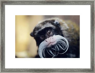 Emperor Tamarin Framed Print by David Aubrey