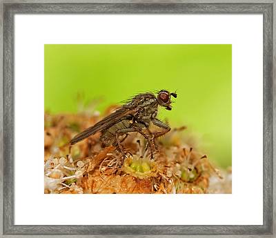 Empid Fly Framed Print by Paul Scoullar