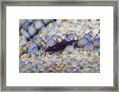 Emporer Shrimp On A Large Pin Cushion Framed Print by Terry Moore