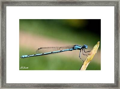 Enallagma Framed Print by LC  Linda Scott