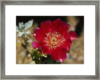 Englemann's Prickly Pear Cactus  Framed Print by Saija  Lehtonen