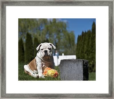 English Bulldog Puppy Framed Print by Jody Trappe Photography