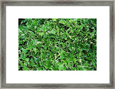 English Ivy (hedera Helix 'kolibri') Framed Print by Archie Young