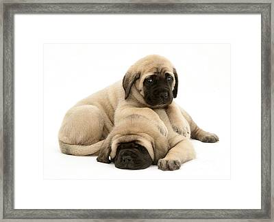 English Mastiff Puppies Framed Print by Jane Burton