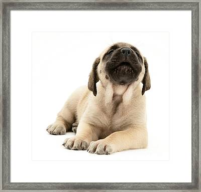English Mastiff Puppy Framed Print