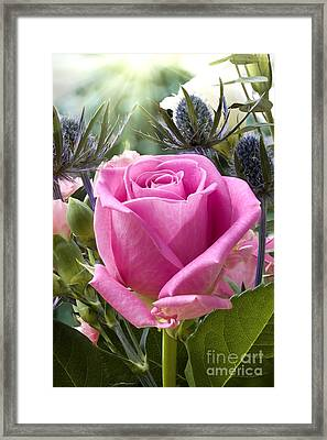English Pink Rose Close Up Framed Print by Simon Bratt Photography LRPS