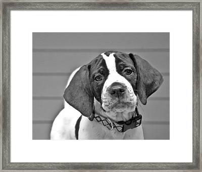 English Pointer Puppy Black And White Framed Print