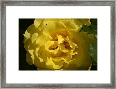 English Rose - Yellow Framed Print by Dickon Thompson