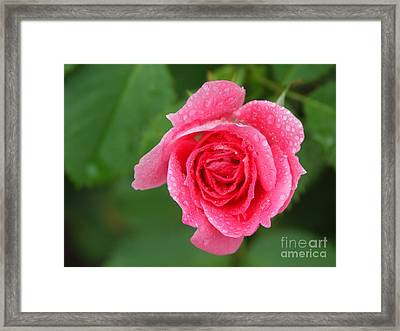 English Rose Framed Print by Bonnie Sue Rauch and Photo Researchers