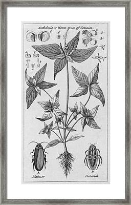 Engraving Of Jamaican Plant And Cockroach Framed Print by Middle Temple Library