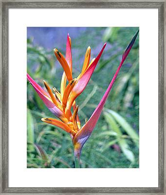 Enhanced Heliconia Framed Print by Karen Nicholson