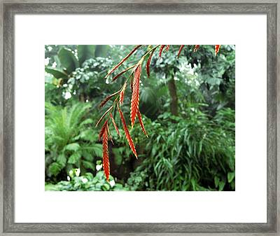 Epipihytic Bromeliad (vriesa Elata) Framed Print by Vaughan Fleming