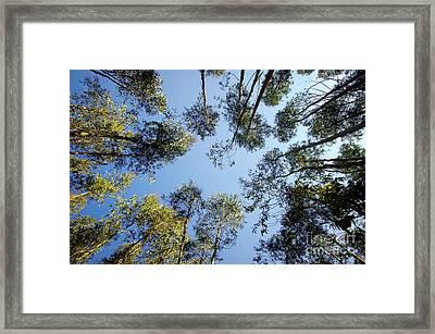 Eucalyptus Framed Print by Carlos Caetano