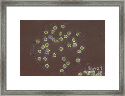Eudorina Elegans, Green Algae, Lm Framed Print by M. I. Walker