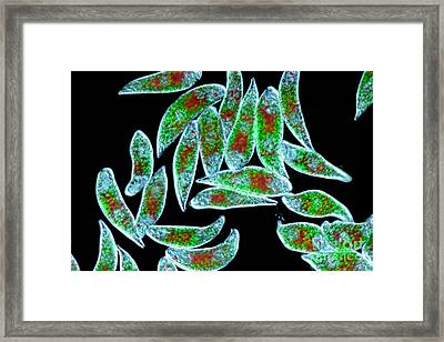 Euglena Rubra Dic Framed Print by M I Walker