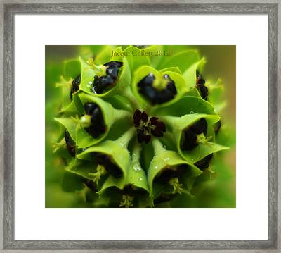 Euphorbia Framed Print by Jacqui Collett