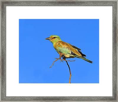 Eurasian Roller Framed Print by Tony Beck
