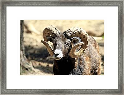 European Big Horn - Mouflon Ram Framed Print