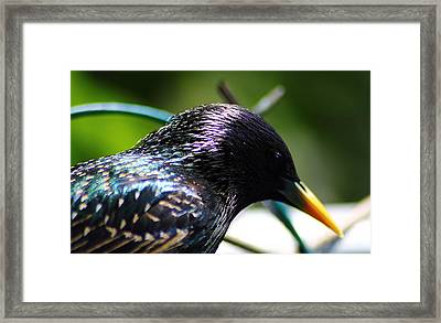 European Starling 2 Framed Print by Scott Hovind