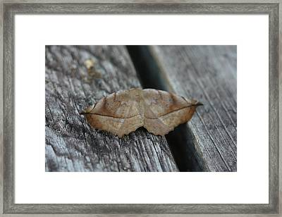 Eutrapela Clemataria Framed Print by Sean Green