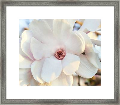 Evening Magnolia 2 Framed Print by Peter Chilelli