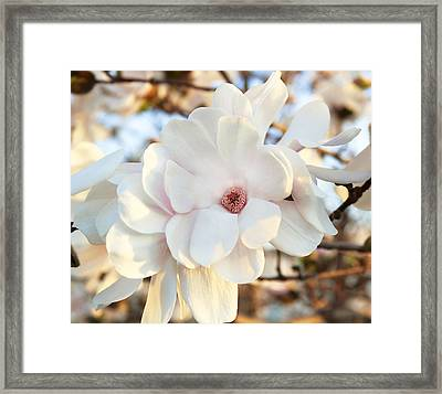 Evening Magnolia Framed Print by Peter Chilelli
