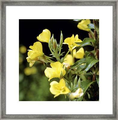 Evening Primroses (oenothera Sp.) Framed Print by Cristina Pedrazzini